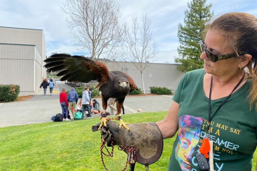 On-campus falconer Jennifer Hosperman and hawk Serenity scare off seagulls during lunch. (Niulan Wright)